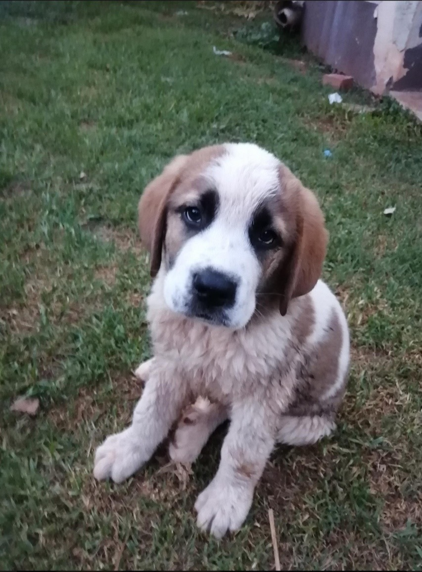 Three St Bernard puppies ready to go to new homes