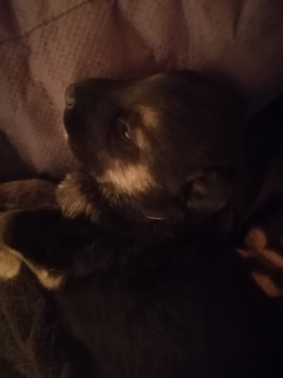 Purebred German Shepard Puppies for sale - East London