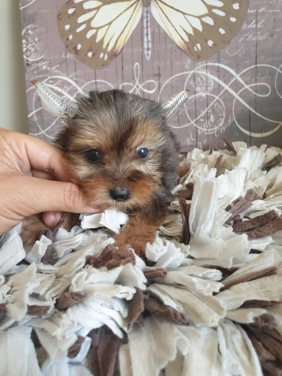 Most Adorable Traditional and Merlé Yorkies, 8 weeks old