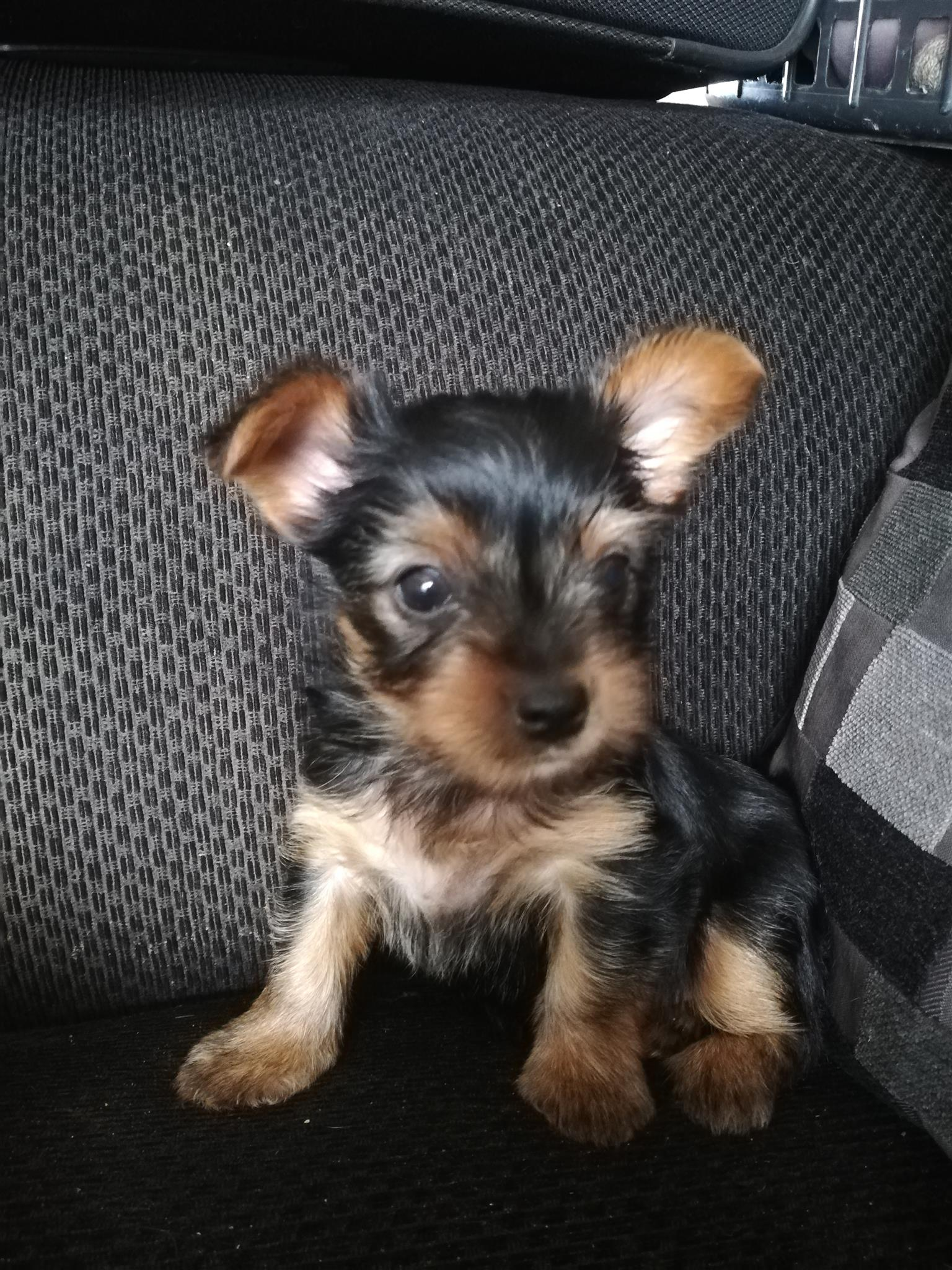 Toy Yorkie Puppies