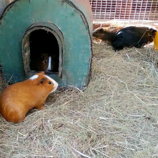 Male guinea pigs in Roodepoort