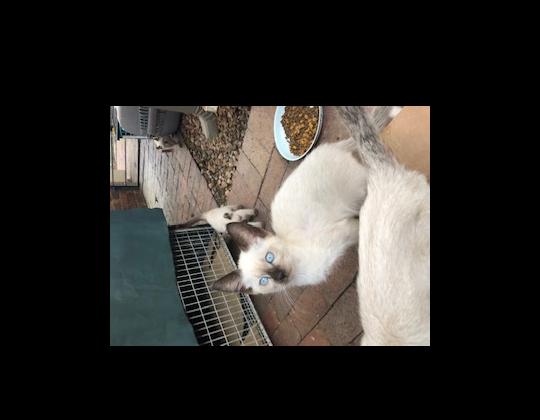 Siamese Thai / Applehead kittens for sale
