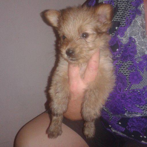 Yorkshire Terrier (Yorkie) Puppies