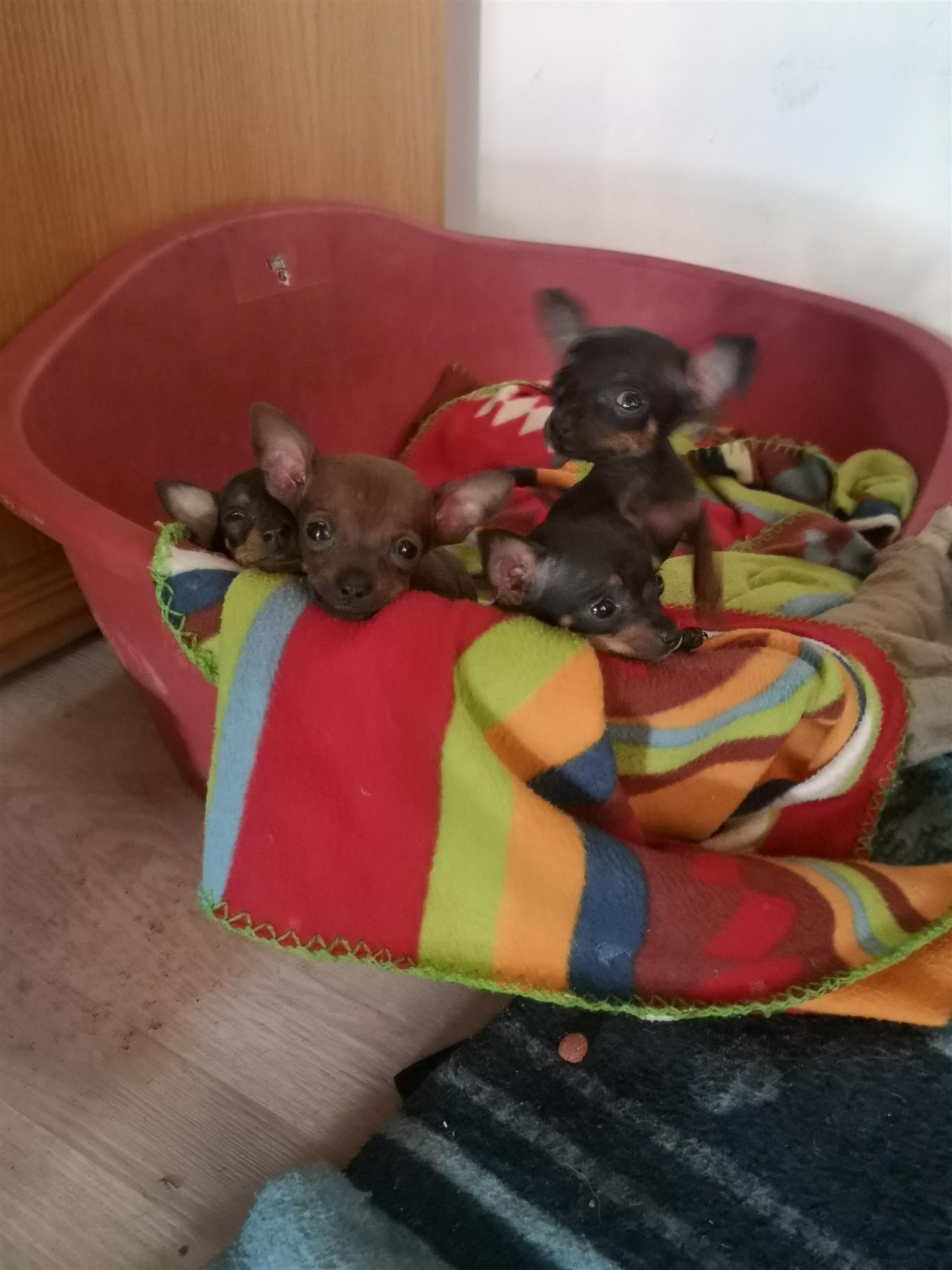 Minature Doberman Puppies (Bokkie Hondjies)