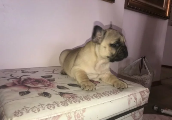1 x MALE FRENCH BULLDOG PUPPY FOR SALE
