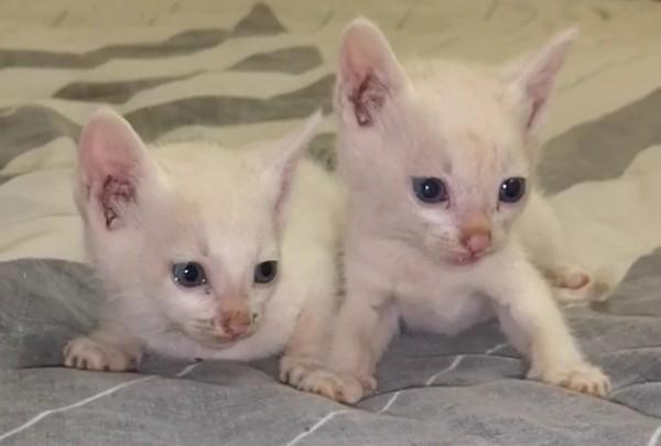 White kitten for sale x3