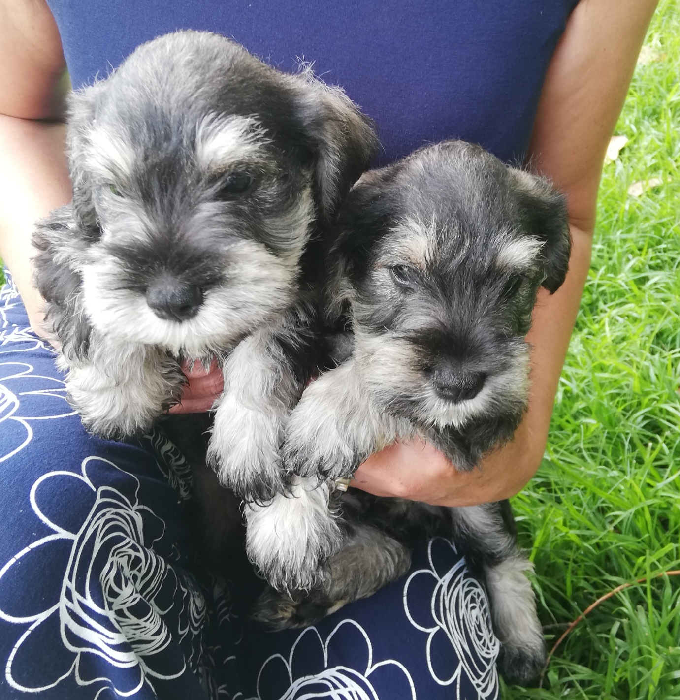 Miniature Schnauzer Puppies For Sale Junk Mail