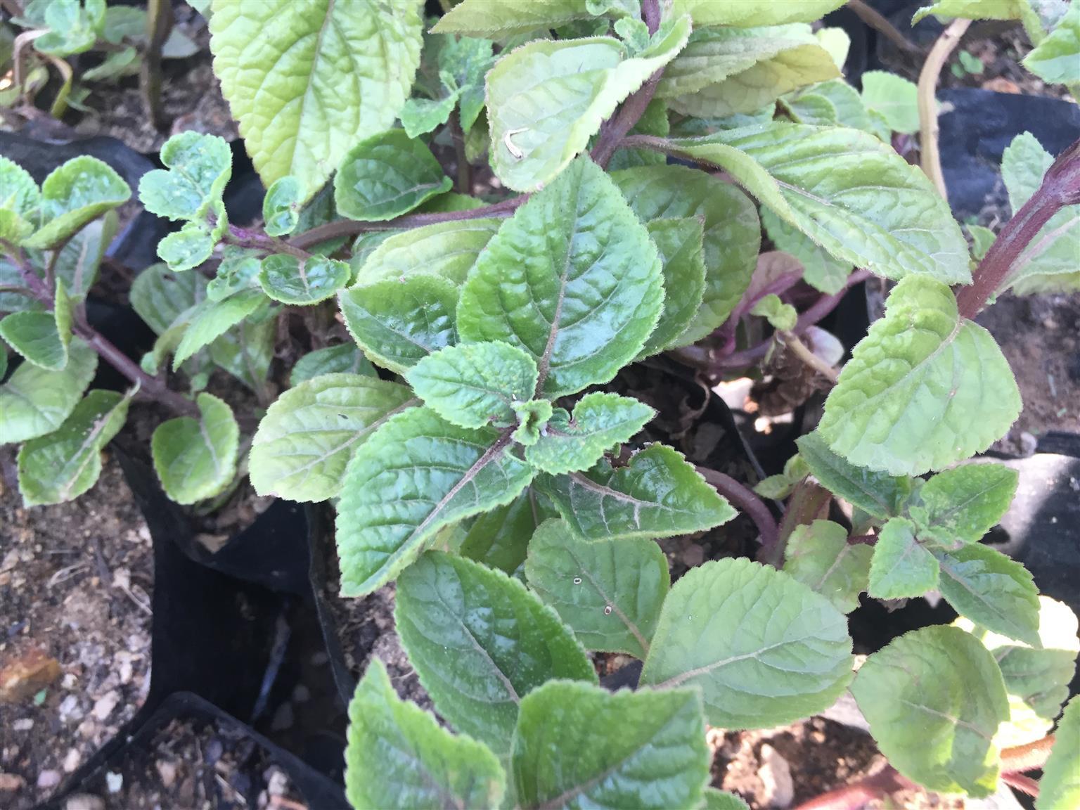 Indigenous plants for sale