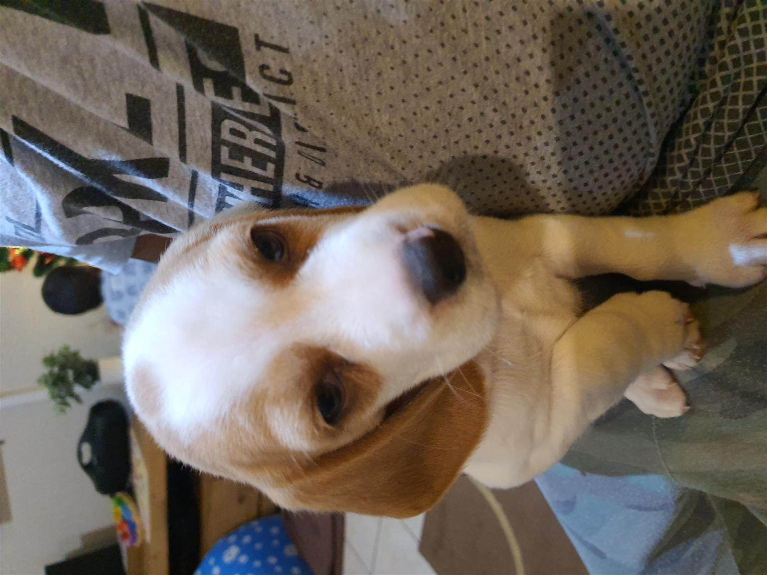 Male Lemon beagle for sale