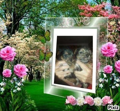 Yorkshire terriers