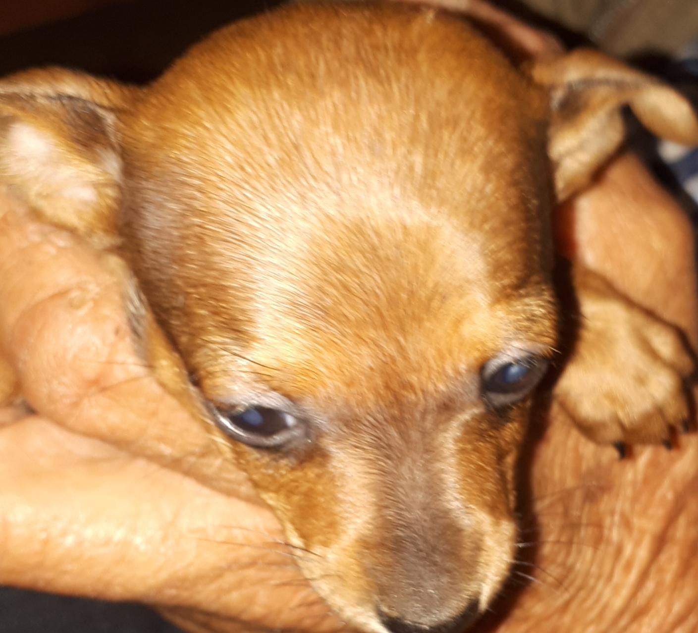 Min Pincher Puppies