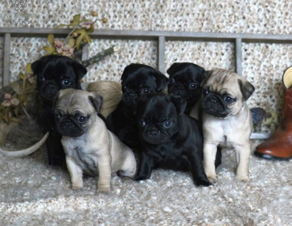 Blackish pug pup for sale r to g