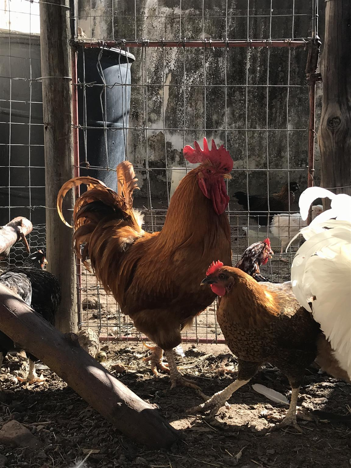 Buff Orpington Roosters for sale!