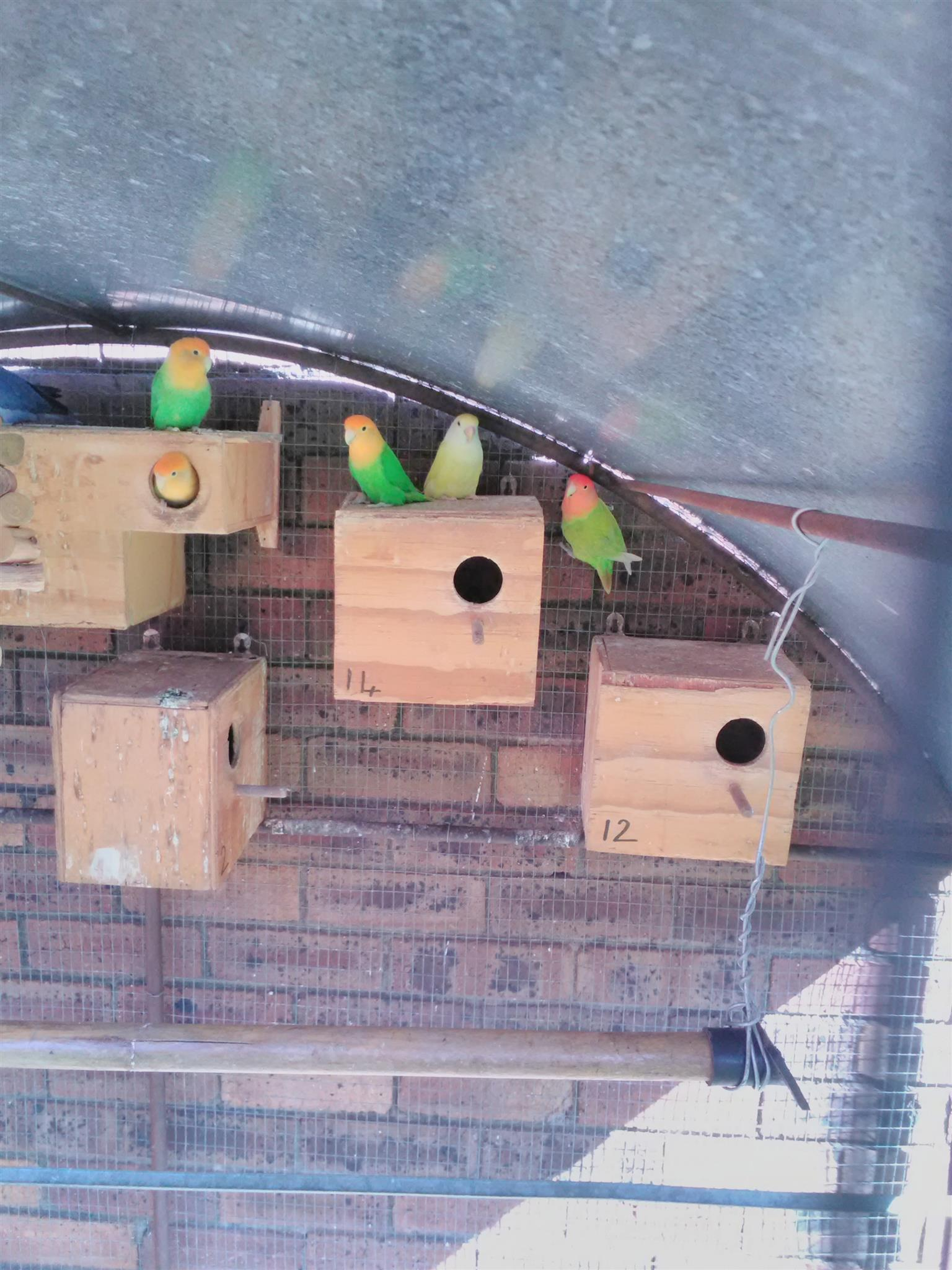 Lovebirds,breeding boxes and cage for sale
