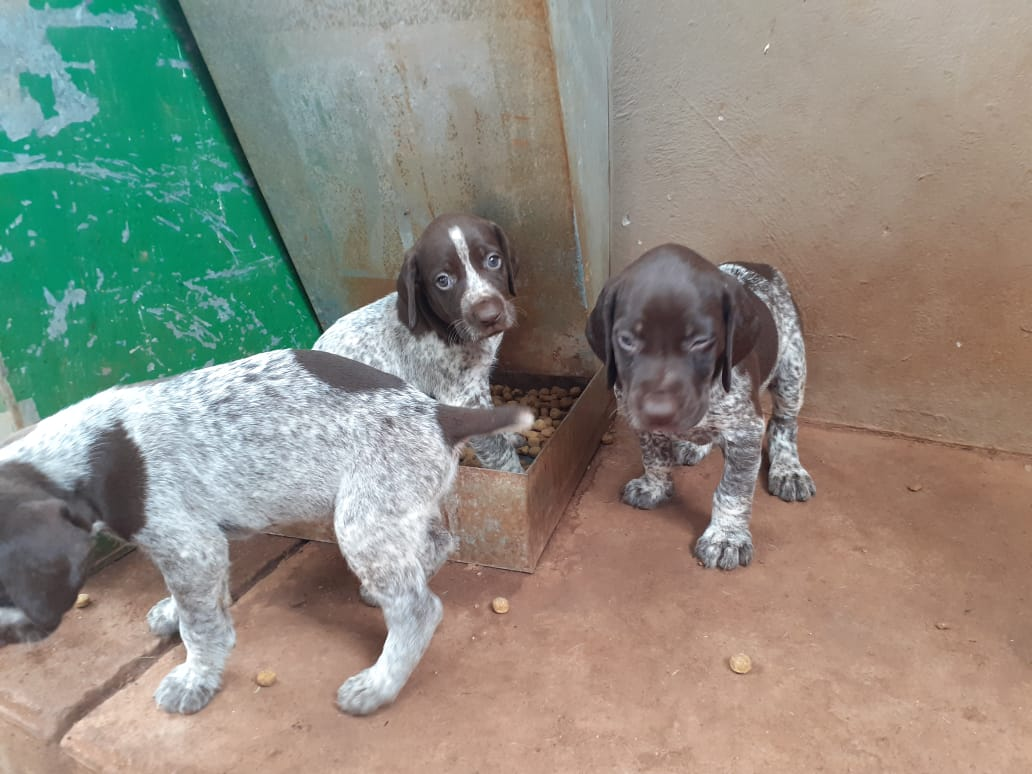 German short-haired Pointer pups for sale