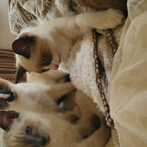 ragdoll cross siamese kittens