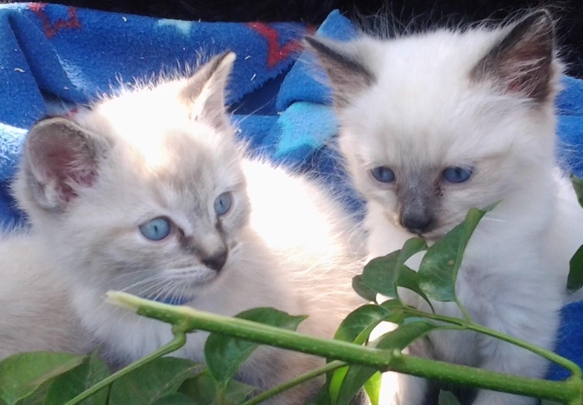 Ragdoll Siamese kittens