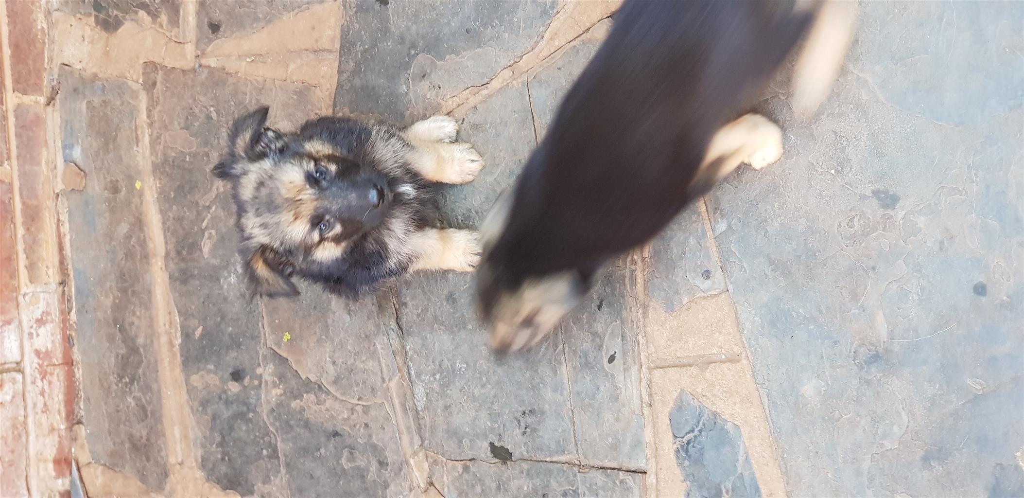 Germansharpad  puppies