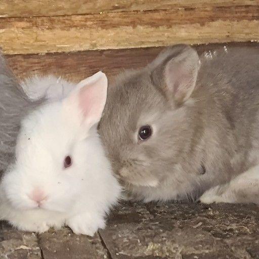 Rabbits Dwarf Angora
