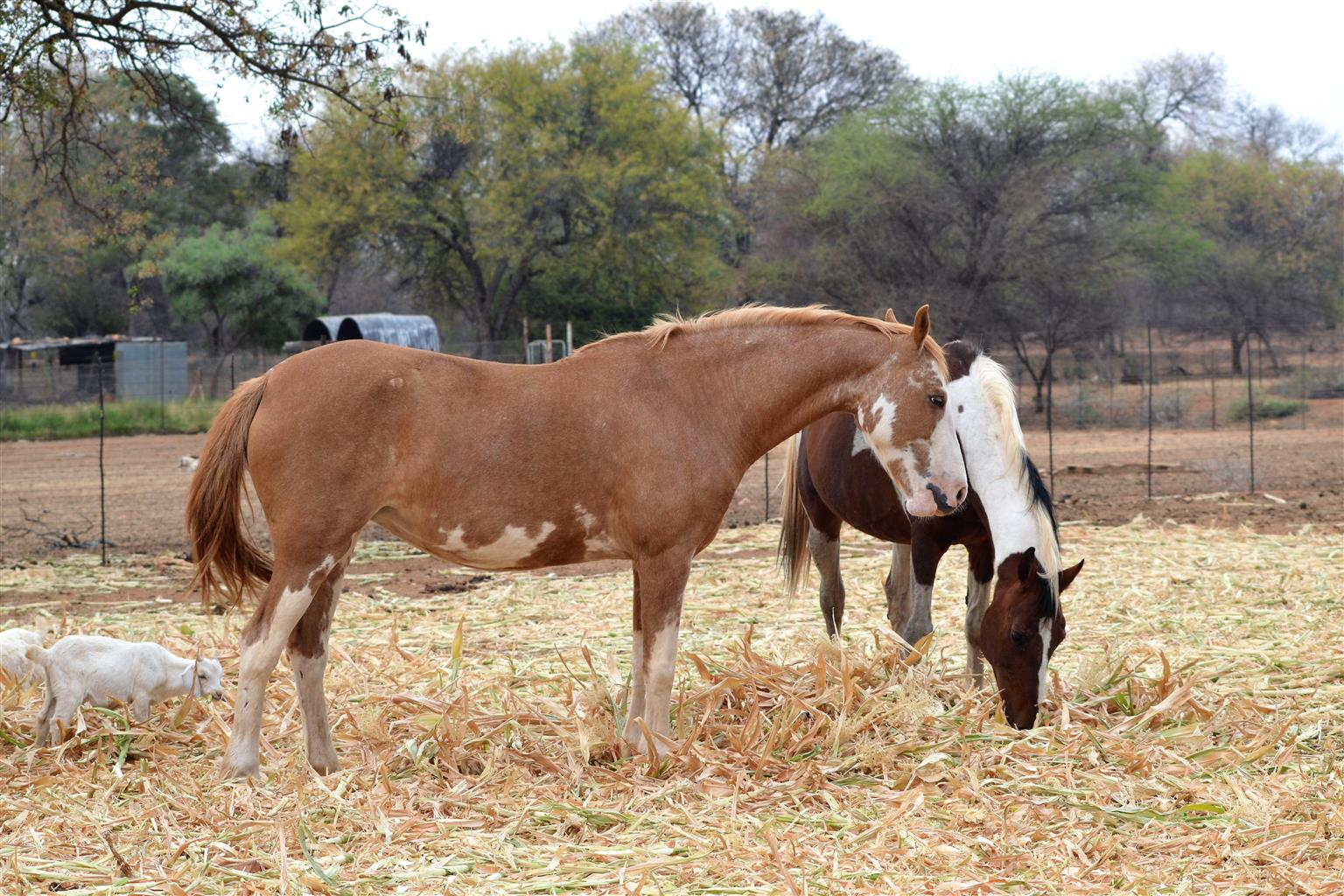 Young pinto filly
