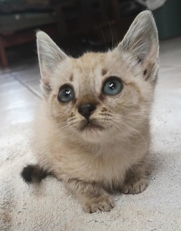 Bengal female kitten for sale