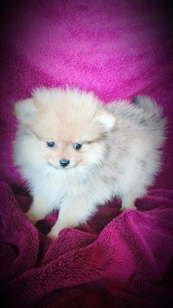 Toypoms puppies for sale