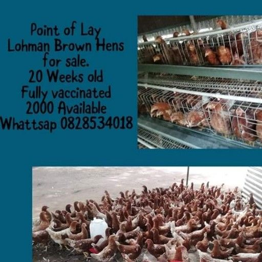 Point of Lay Hens