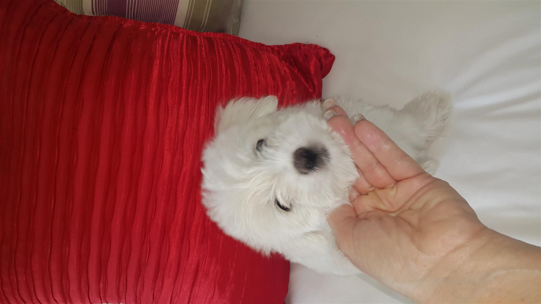 Morkie puppies for sale for R1500