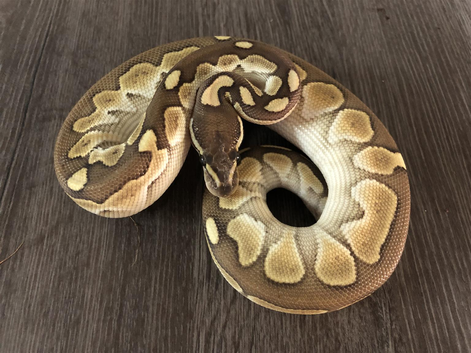 BP & Hognose
