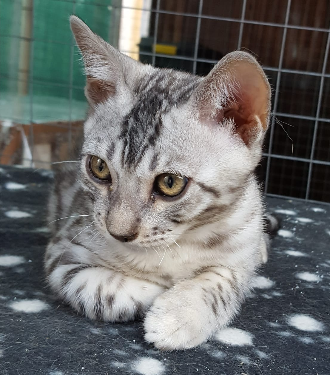 Bengals available