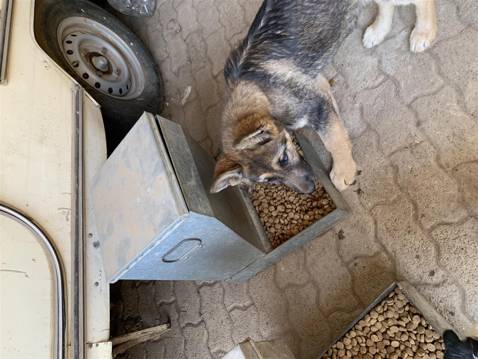 German shepherds puppy