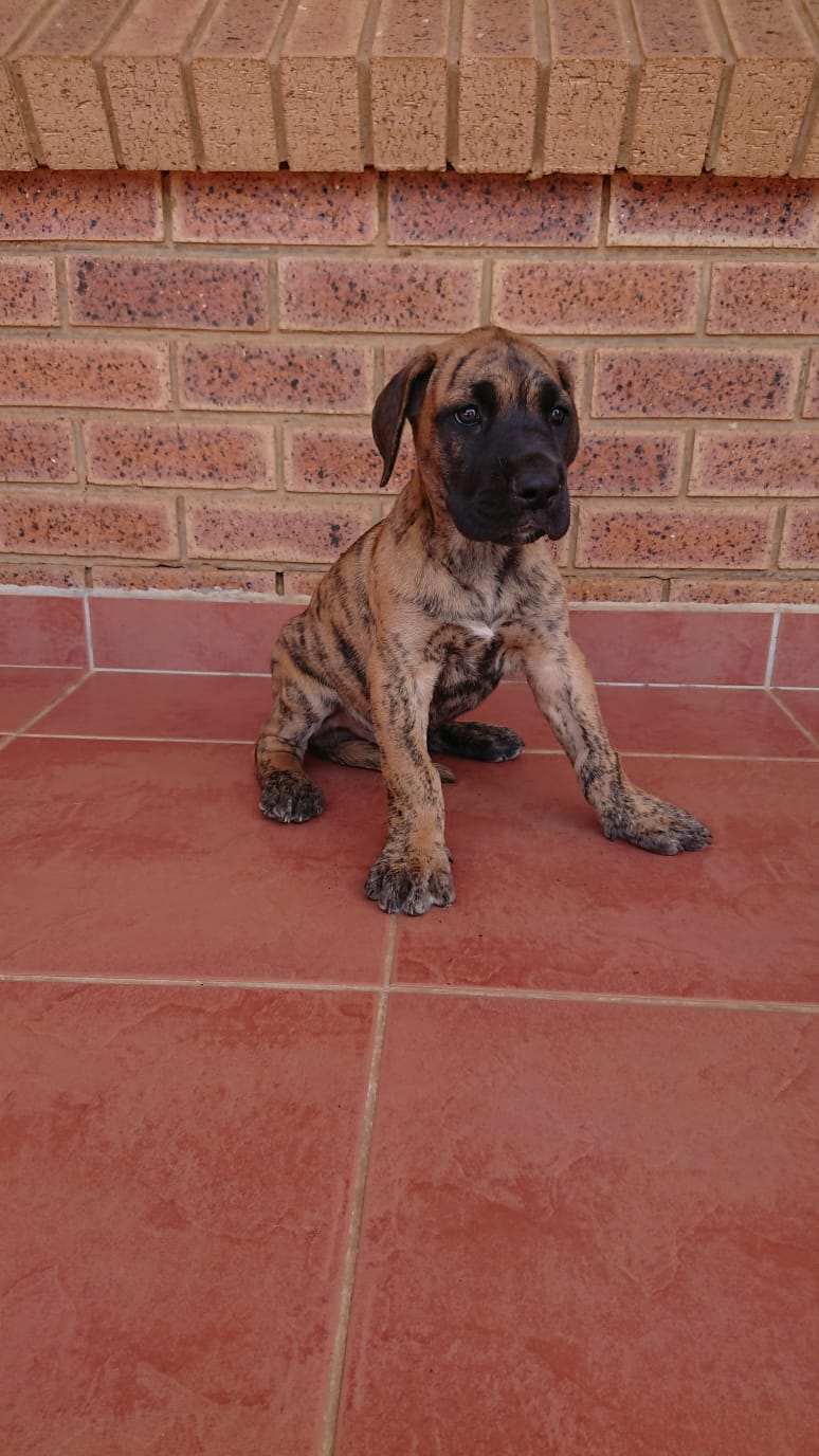 Giant German Bloodline Purebred Great Dane Puppies for sale