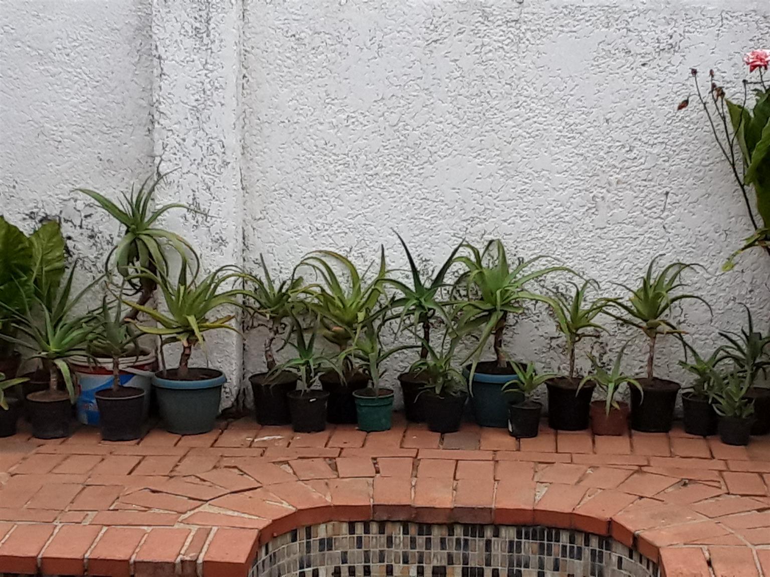Aloe Vera plants in pots. Assorted height. R10 per cm.