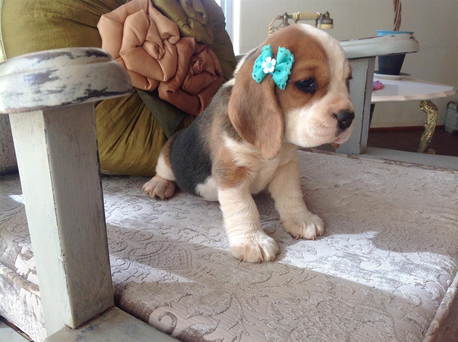 Two Beautiful, Healthy Beagle Puppies KUSA Registered