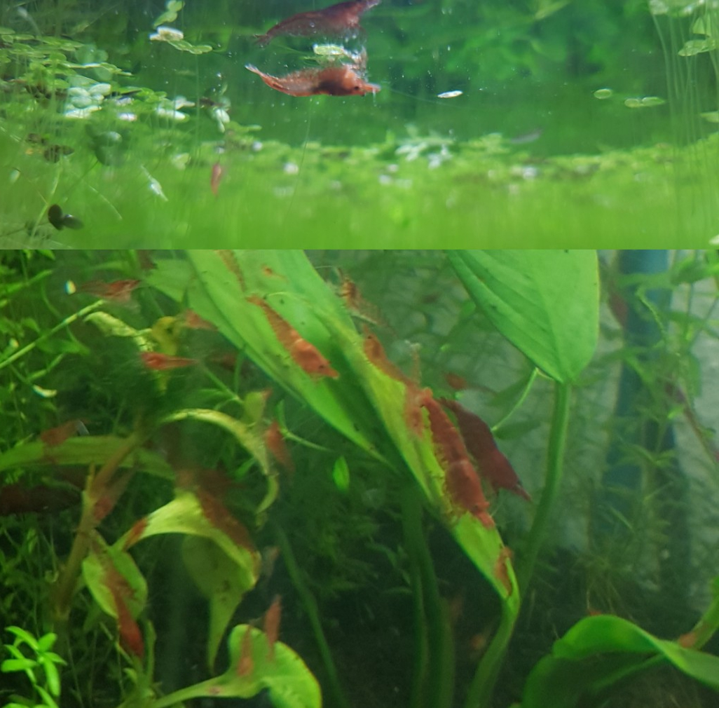 Red cherry shrimp for sale