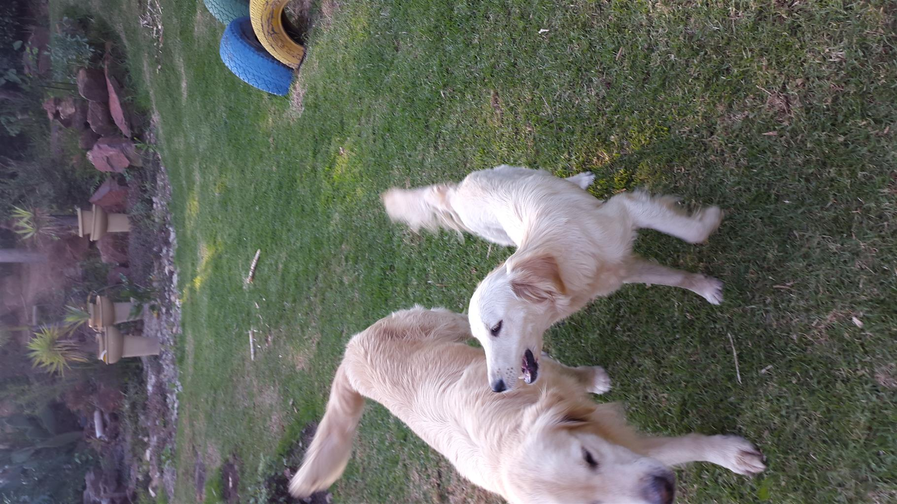 Golden Retriever, Female, Mini-Golden. 1 Year Old, Parents are KUSA Registered. (Note: MINI Size)