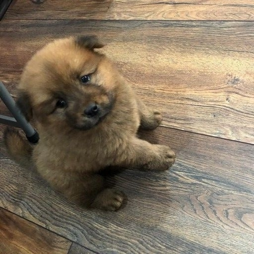 chow chow puppy one brown male left