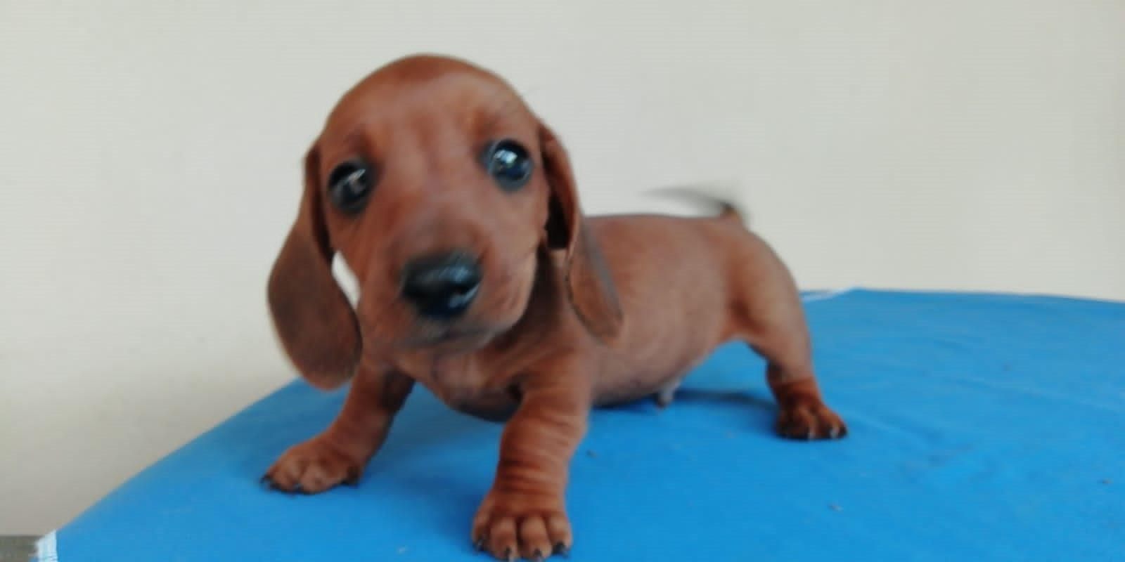 Purebred Male Miniature Dachshund Puppy 8 Weeks Old Junk Mail