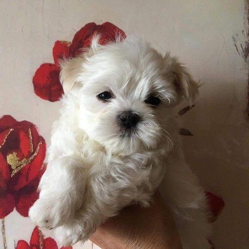 2 small Fluffy mini maltese puppies