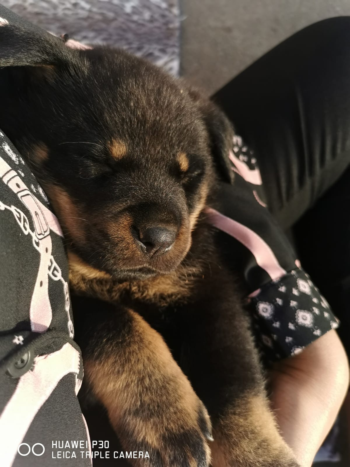 german female puppy for sale