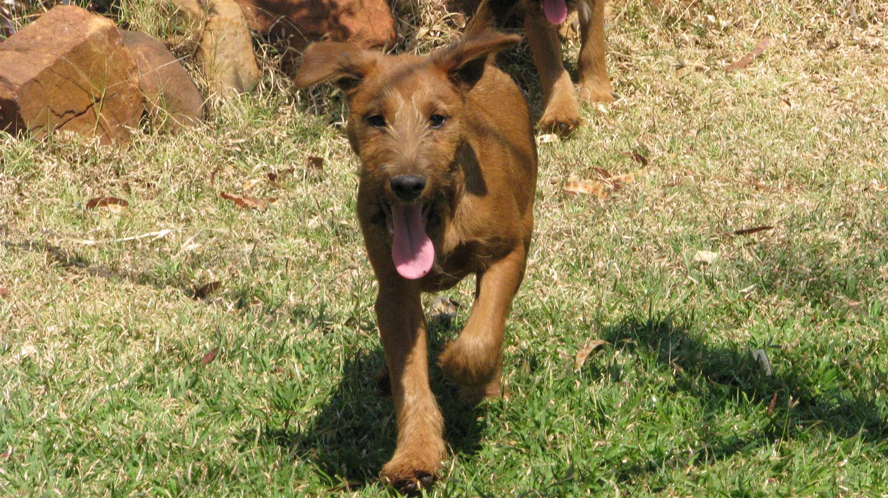Purebred Male Irish Terrier Pup For Sale