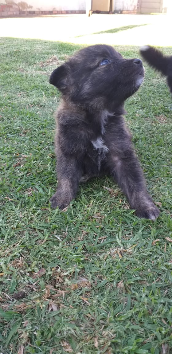 Borber Collie Puppies