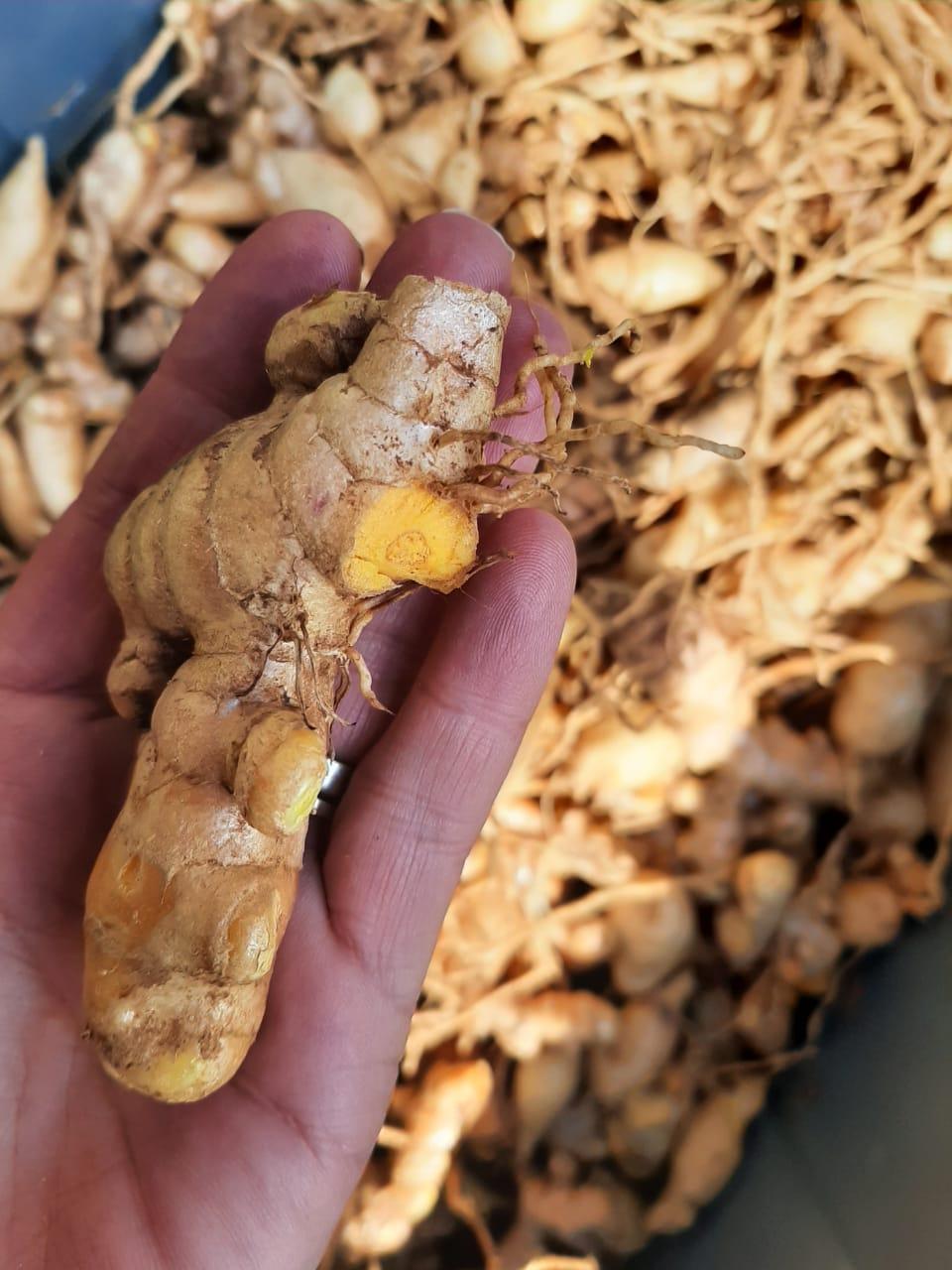 FRESH TURMERIC - for GROWING seed