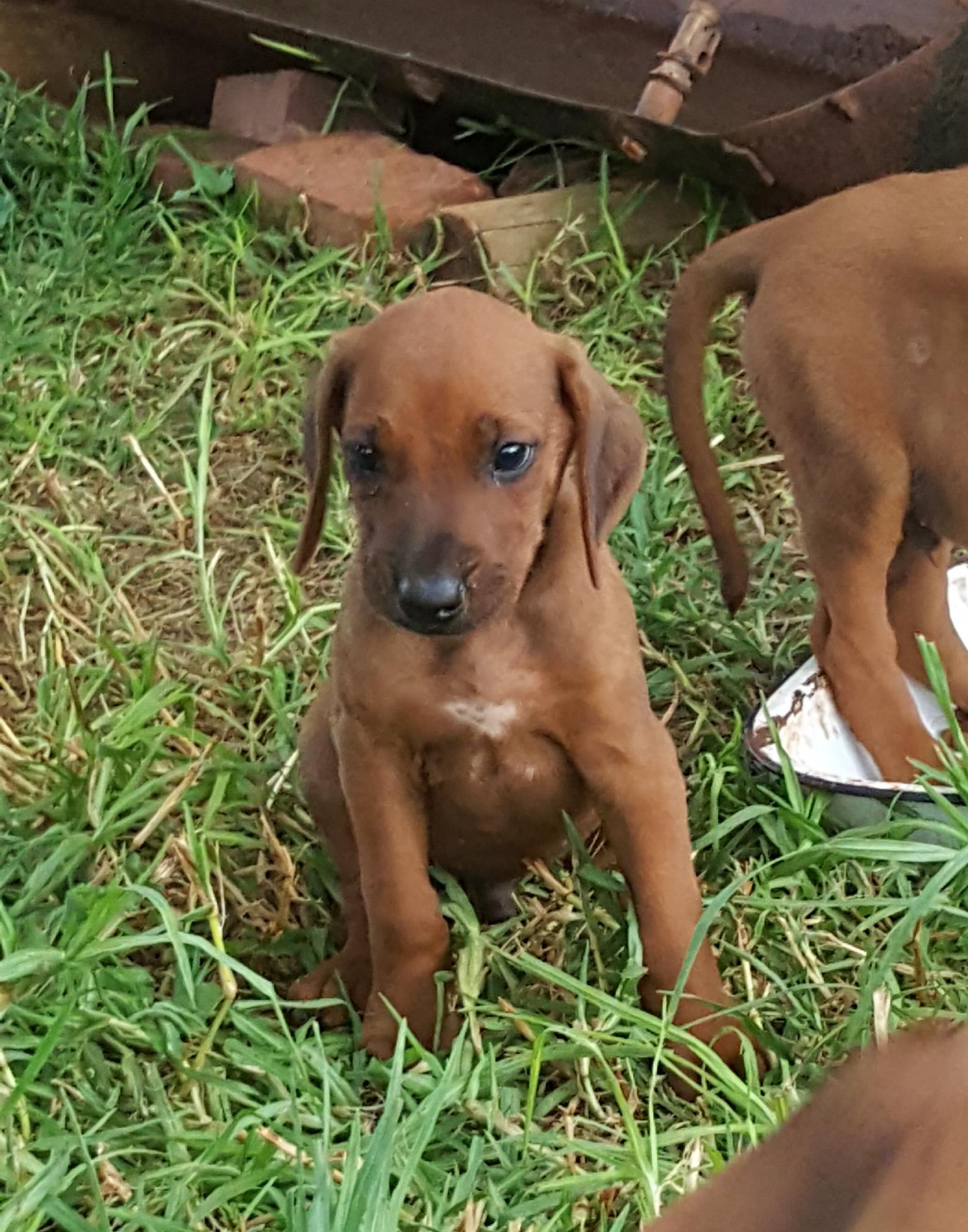 Rhodesian Ridgeback Puppies 8 weeks