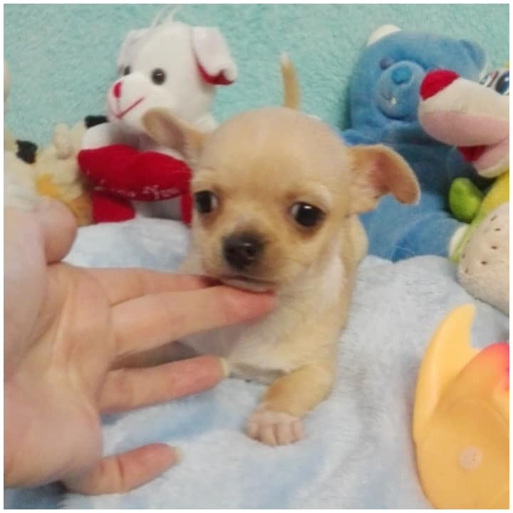 small type applehead chihuahua puppy