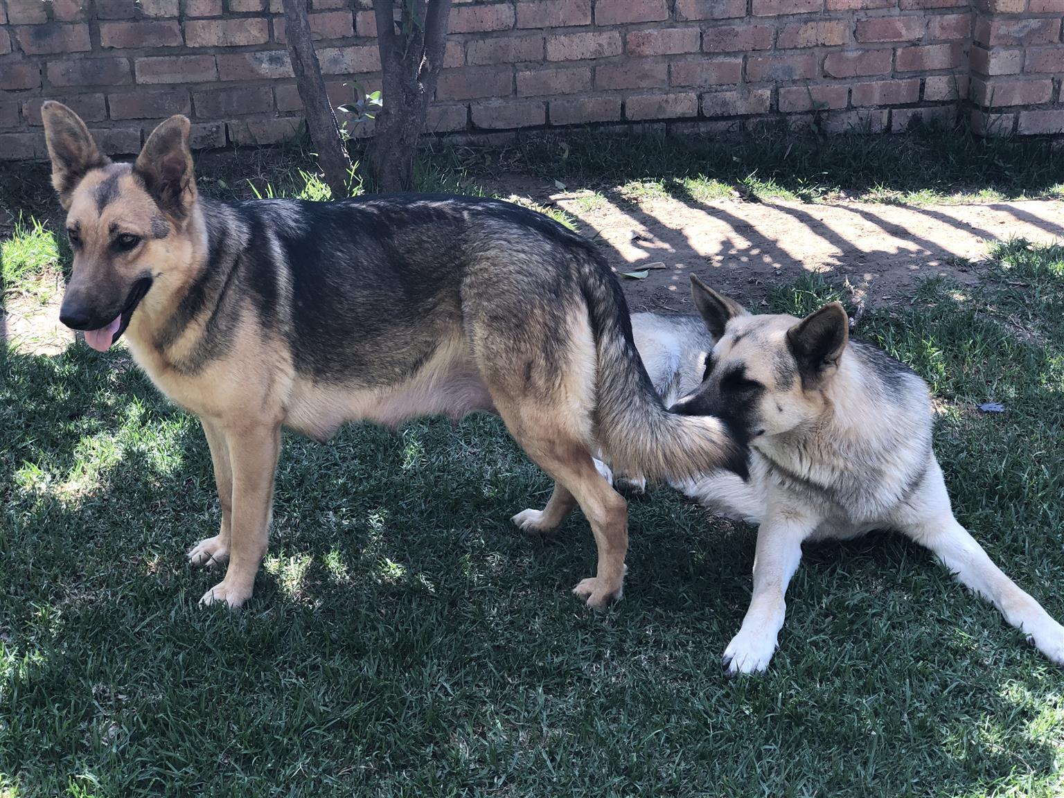 German Shepard Pups for Sale