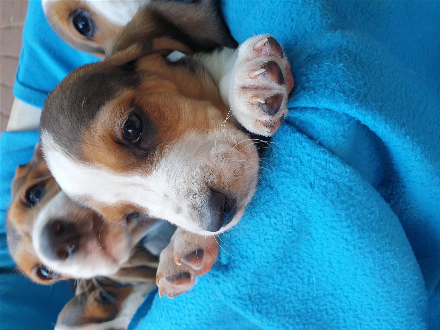 Bassett hounds for sale