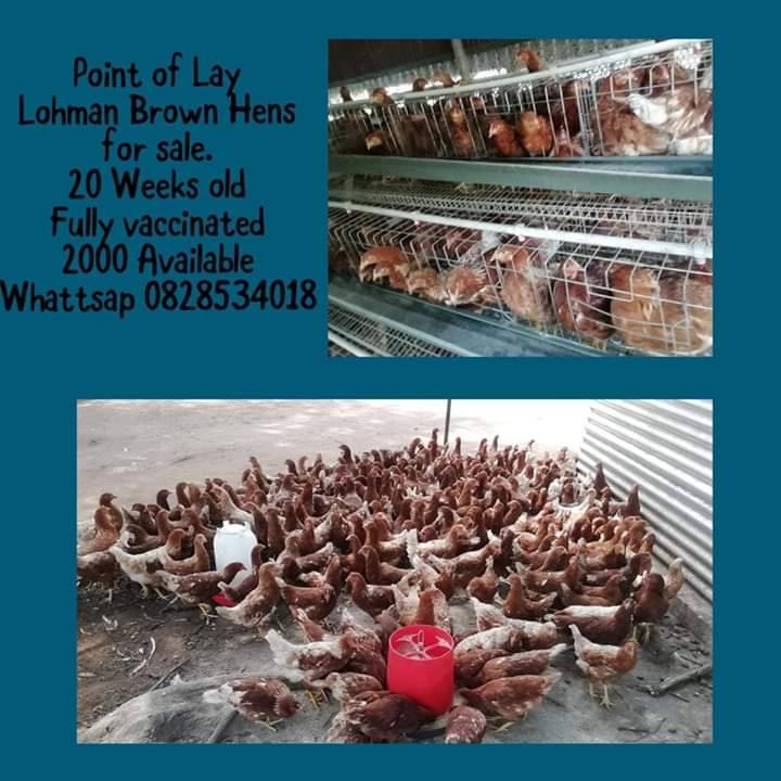 Lohman Brown Lay Hens for Sale.