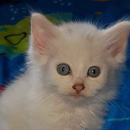 White fluffs, Rag Doll Kittens x4