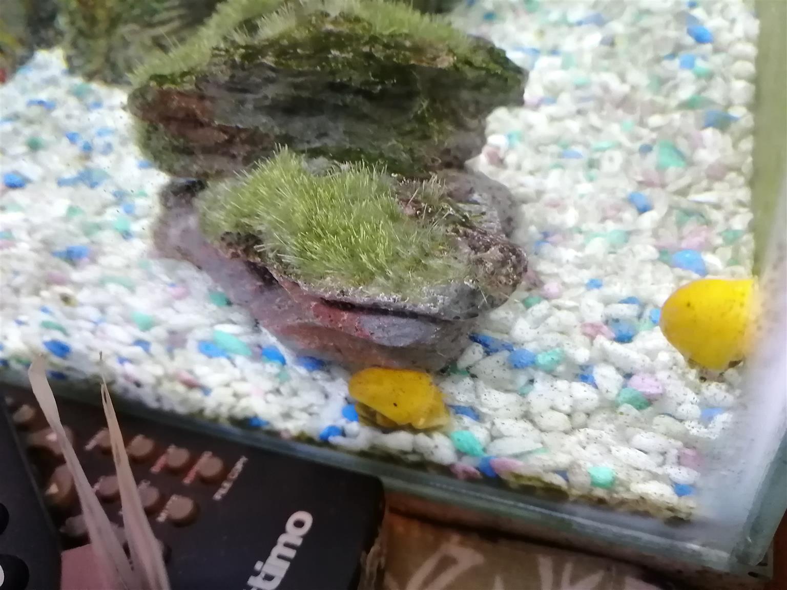 Apple snails for sale